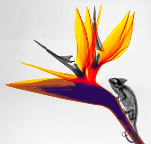 Chamaleon Strilizia